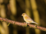 5035 Greenfinch VF 061111.jpg