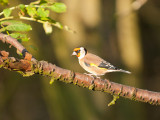 5075 Goldfinch VF 061111.jpg