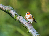 4865 Goldfinch VF 061111.jpg