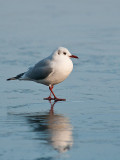 6007 Black-headed Gull LL 030212.jpg