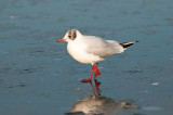 6032Black-headed Gull LL 030212.jpg