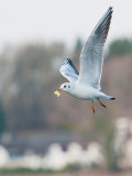 6144 Black-headed Gull LL 030212.jpg