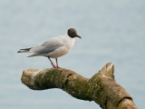 7059 Black-headed Gull LL 010412.jpg
