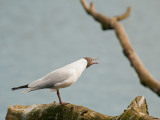 7066 Black-headed Gull LL 010412.jpg