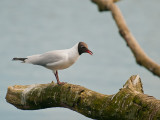 7069 Black-headed Gull LL 010412.jpg