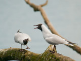 7075 Black-headed Gull LL 010412.jpg
