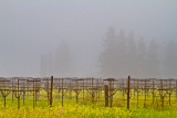 Day 2-Vineyard Morn