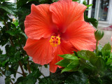 An hibiscus flower that was on St. Catherine Street.