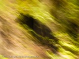 Himalayan Black Bear.jpg