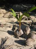 How a coconut tree starts life 028.jpg