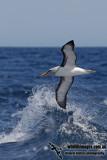 Buller's Albatross 8189.jpg