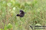 Pallas's Grasshopper Warbler 1063.jpg