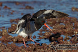 South Island Pied Oystercatcher 3758.jpg
