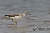 Common Greenshank a0732.jpg