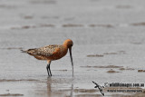Bar-tailed Godwit a4015.jpg