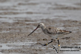 Bar-tailed Godwit a4104.jpg