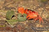 Christmas Island Red Crab - Gecarcoidea natalis