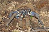 Robber Crab a0931.jpg