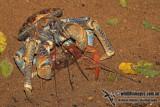 Robber Crab a0935.jpg