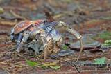 Robber Crab a9979.jpg