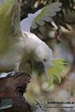 Sulphur-crested Cockatoo 7265.jpg
