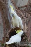 Sulphur-crested Cockatoo 7408.jpg