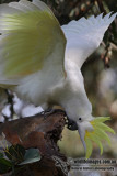 Sulphur-crested Cockatoo 7259.jpg