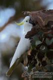 Sulphur-crested Cockatoo 7309.jpg