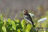 Chestnut-cheeked Starling 5637.jpg