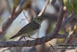 Arctic Warbler 5865.jpg