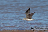 Grey-tailed Tattler a4707.jpg