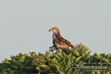 Oriental Honey Buzzard 9755.jpg