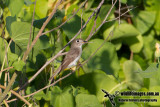 Asian Brown Flycatcher 8824.jpg