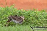Swinhoes Snipe a9767.jpg