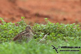 Pin-tailed Snipe a9743.jpg