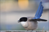 Azure Winged Magpie #1