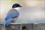 Azure Winged Magpie #4