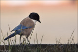 Azure Winged Magpie #2