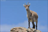 Spanish Ibex #2