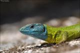 Iberian Emerald Lizard
