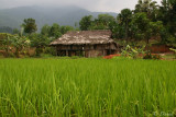 RICE FIELD CLOSE TO BAC HA