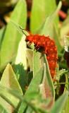 Pipevine Swallowtail Caterpillar