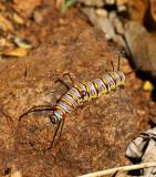 Queen Caterpillar