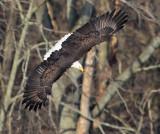 Bald Eagle Dive