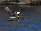 Bald Eagle About to Snatch Fish