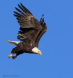 Bald Eagle Launch