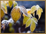 Morning frost on raspberry leaves