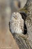 Owl, Ural