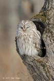 Owl, Ural @ Hokkaido
