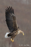 Eagle, White-tailed Sea